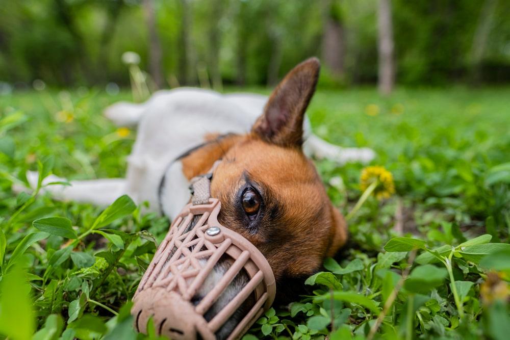 Jack Russell Terrier con bozal tumbado sobre la hierba