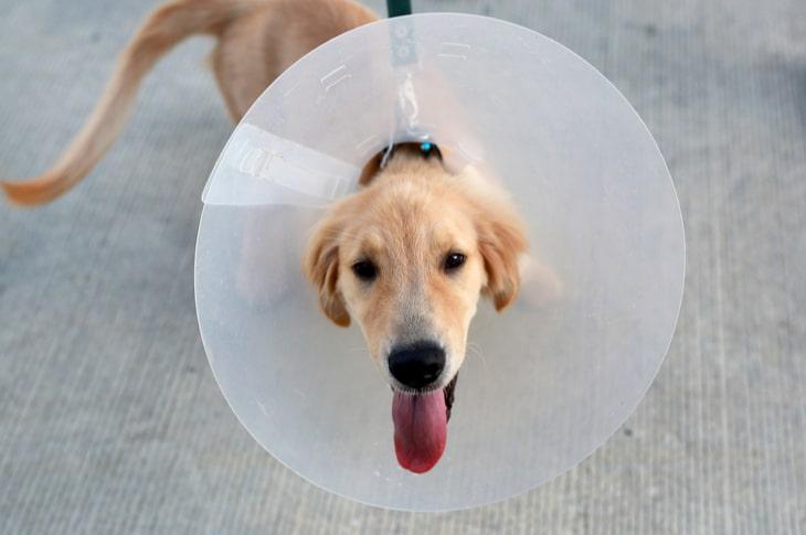 Perro con collar isabelino protector