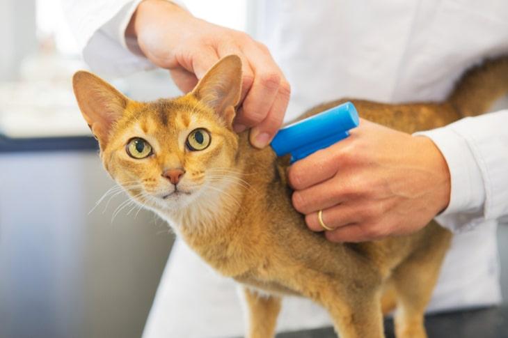 Veterinario implantando microchip a un gatito atigrado