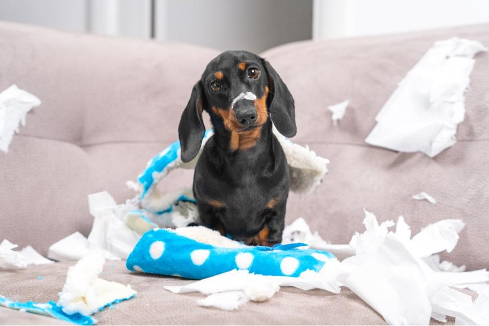 Perro Mess dachshund cachorro con mirada culpable tras haber destrozado un sofá